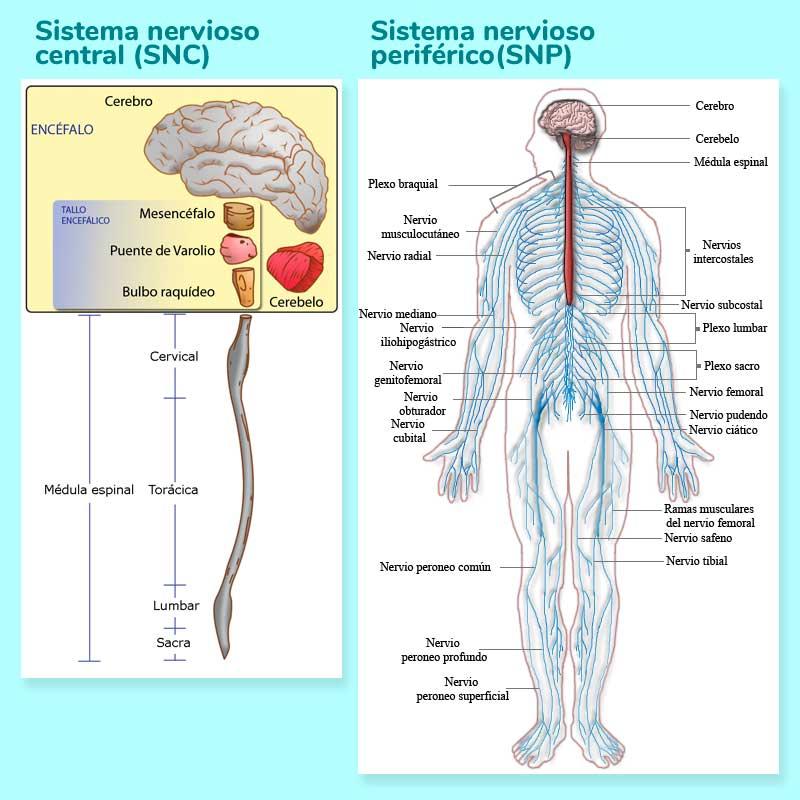 Cómo Funciona El Sistema Nervioso