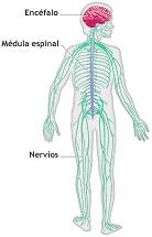 Funciones principales del sistema nervioso parasimpatico